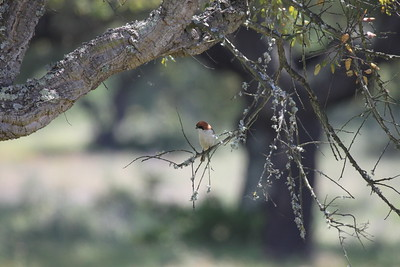 Woodchat shrike, Rˆdhuvad tˆrnskata