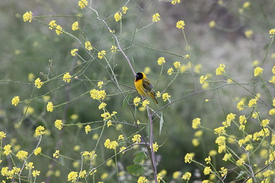 Blackheaded weaver