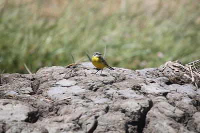 Yellow wagtail, (Iberiae) Gul‰rla