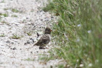 Common rock sparrow, Stensparv
