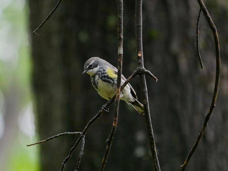 Yellow-rumped Warlber (female)