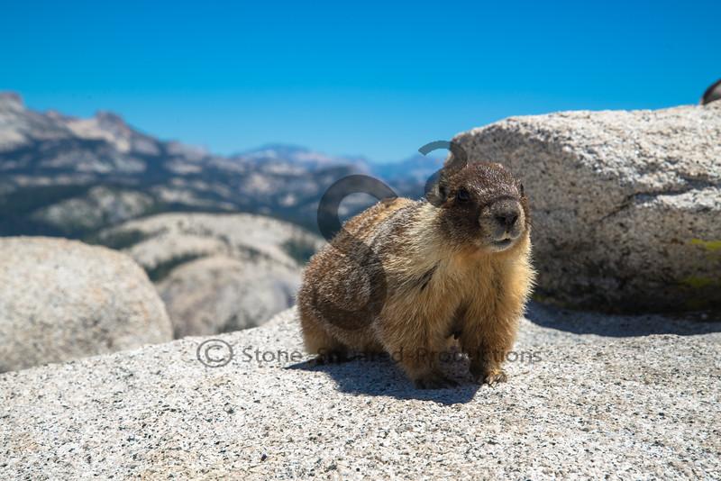 Half Dome Marmot