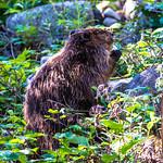 Eating Beaver
