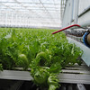 NASHOBA VALLEY VOICE/ANNE O'CONNOR<br /> Thousands of boxes of crunchy lettuce leave Little Leaf Farms in Devens every day. The company will add another 2.5 acres greenhouse within a year and double their growing space. From seed to box takes 27 days. The produce is untouched by human hands.