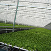NASHOBA VALLEY VOICE/ANNE O'CONNOR<br /> Thousands of boxes of crunchy lettuce leave Little Leaf Farms in Devens every day. The company will add another 2.5 acres greenhouse within a year and double their growing space.