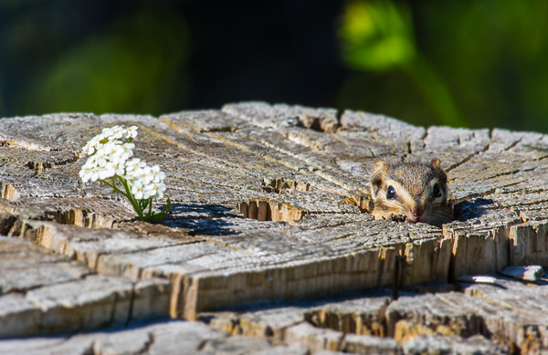 Hiding chipmunk