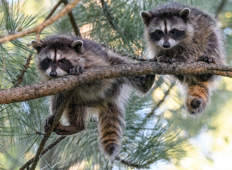 Raccoons hanging on