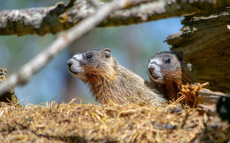 Yellow bellied marmots