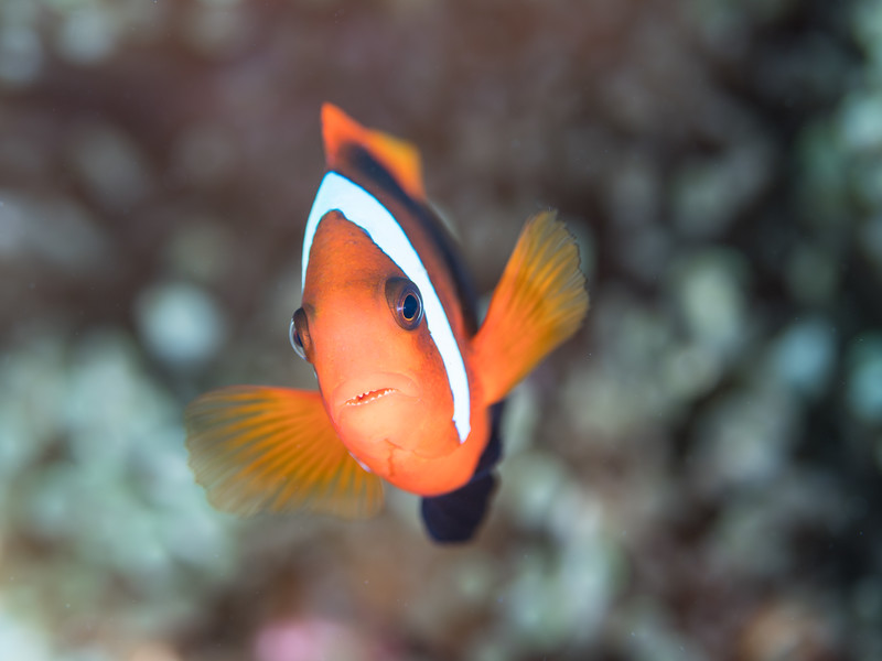A toothy Clark's anemonefish (Amphiprion clarkii)