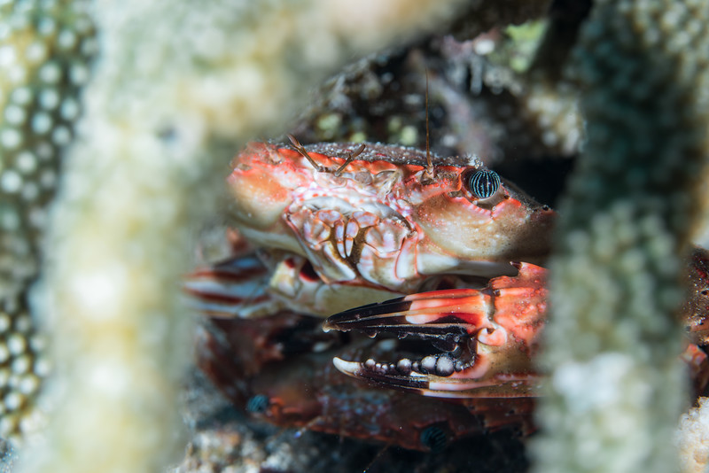 Crabs in their coral head home