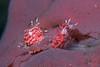 Egg-eater nudibranch (Favorinus japonicus)