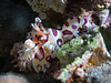 Hungry, hungry harlequin shrimp (Hymenocera picta)