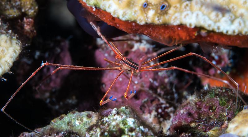 Arrow crabs know the wayq