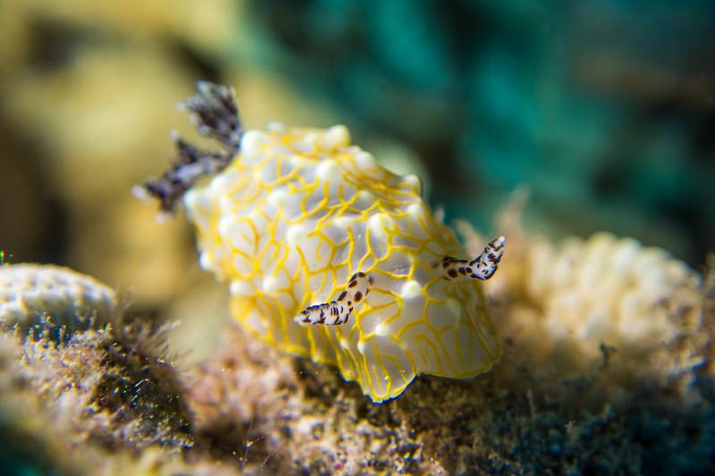 Gold-lace nudibranch (Halgerda terramtuentis)
