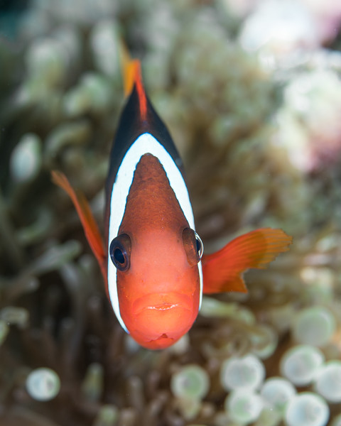 A shocked Clark's anemonefish (Amphiprion clarkii)