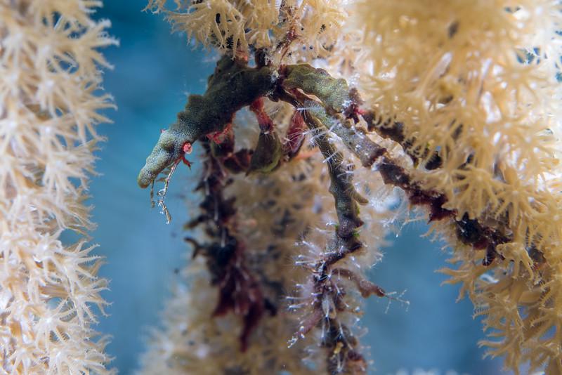 Neck crab (Podochela sp.)