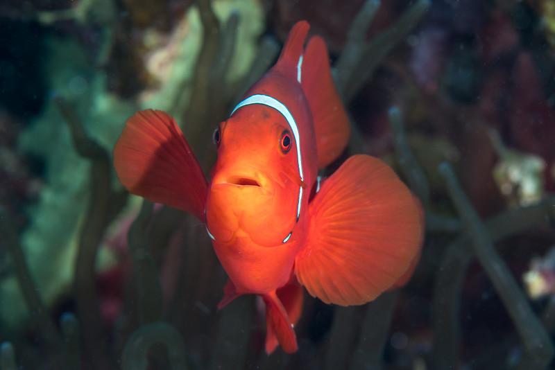 A shocked-looking spinecheek anemonefish (Premnas biaculeatus)