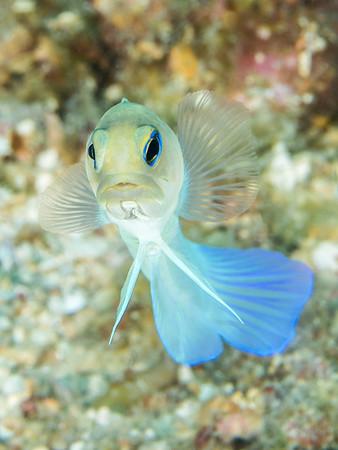 Yellowhead Jawfish (Opistognathus aurifrons)
