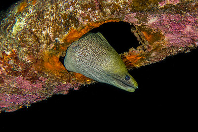 Peek-a-boo Moray