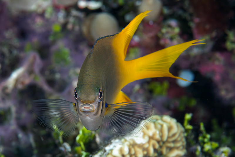 A cheeky yellowfin damsel fish (Neoglyphidodon nigroris)