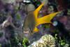 A cheeky yellowfin damsel fish (Neoglyphidodon nigroris)