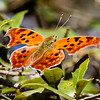 Butterflys-20161125-0133-Edit