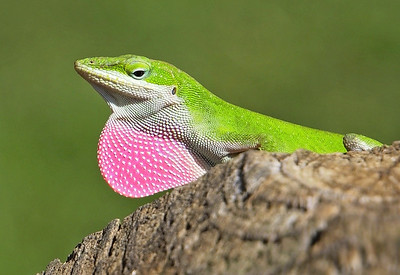Green Anole..