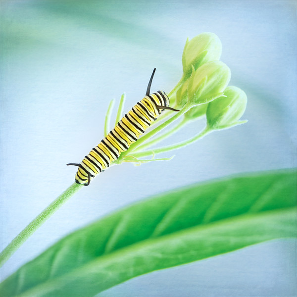 One of 11 caterpillars (so far) from The Monarch Project. Parker and I are hosting milkweed plants to observe the life cycle of the monarch butterfly. Monarchs only lay their eggs on milkweed plants and over the course of about 30 days the caterpillars will transform into butterflies and then we will release them outdoors.