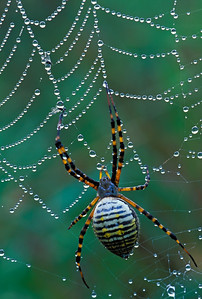 Black and Yellow Argiope Spider-Argiope Aurantia-Spiderwebs-Dewdrops