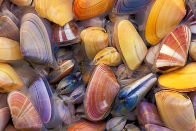 Coquinas-Butterfly Clams-Donax Variabilis-Mollusks-Seashells