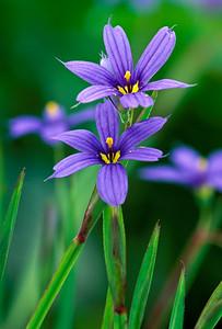 Eastern Blue Eyed Grass-Sisyrinchium Atlanticum-Wildflower