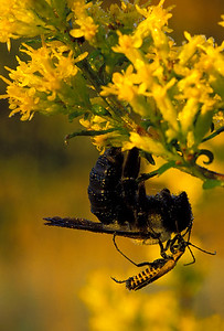 Wildflowers-Bumble Bees-Beetles-Goldenrods-Insects