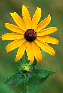 Black Eyed Susan Wildflowers-Rudbeckia Hirta