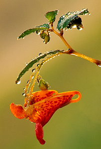 Jewelweed-Touch Me Not-Impatiens Capensis-Wildflowers