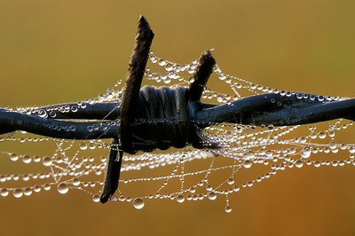 Barbed Wire-Spider Webs-Dew Drops