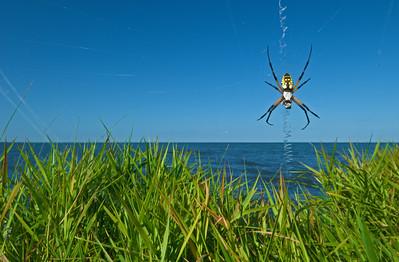 Black and Yellow Argiope Spiders-Argiope Aurantia-Phelps Lake- Pettigrew State Park