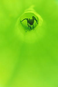 Carnivorous Plants-Spiders-Yellow Pitcher Plants-Sarracenia Flava