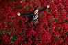 Asda Roses