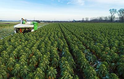 18/12/2017 - ASDA starts 24 hour sprout harvest