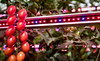 To ensure its shoppers receive the best-quality tomatoes possible, Asda's growers have installed pioneering technology as a new, innovative way of growing tomatoes – using bright pink LED systems. The systems, which are the first to be used in the UK and only the second in Europe, mean the tomatoes can be grown anywhere and in any weather condition.<br /> To communicate this story and the advancements Asda is making in produce with the implementation of technology, we will capture photography of the tomatoes grown under the lights and with our grower, Andy Roe. <br /> Pictures by Paul Currie/Bluepitchmedia