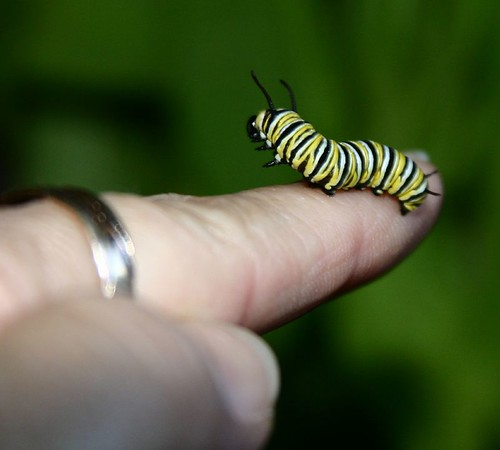 Live Monarch Farm