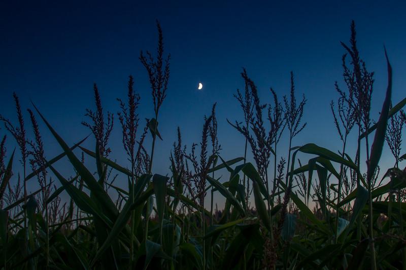 Night in the Cornfield