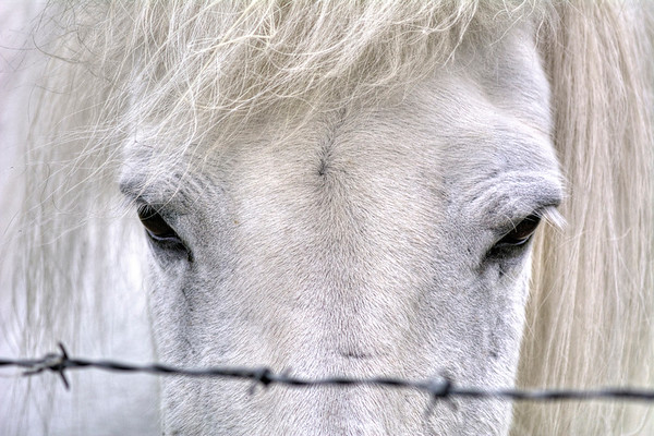 Horse and Barbed Wire