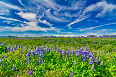 Lupines and Clouds