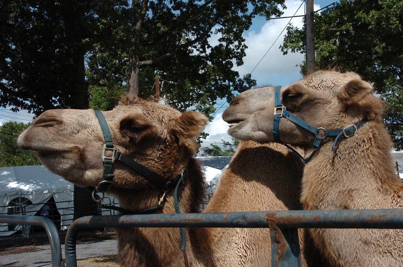 Camels wait for riders at the opening of the Montgomery County Ag Fair