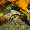 Red Banded Hermit Crab
