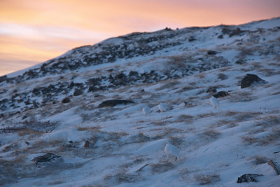 Bobwhites in the frozen tundra