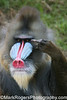 The Bird is the Word<br /> Mandrill - San Francisco Zoo