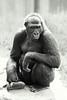 Zen Moment<br /> Gorilla - San Francisco Zoo