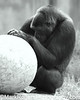 Is Pi  circumference or radius divided by diameter? <br /> Gorilla - San Francisco Zoo